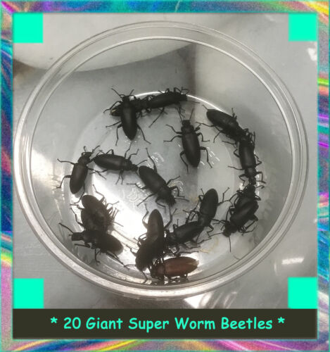 20 Giant SuperWorm Beetles (zophobas morio) Young Breeders - New Colony Starters