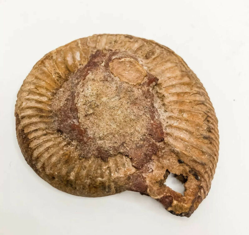 Ammonite Polished Fossil Spiral Fibonacci Shell Rock