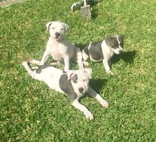 Blue & White English Staffordshire Bull Terrier Puppies Kanwal Wyong Area Preview