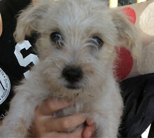 Maltese x Shihtzu x Jackrussel puppy Greensborough Banyule Area Preview