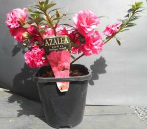 Azaleas plants West Ballina Ballina Area Preview