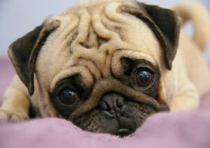 Pug Dog Puppy Cute Dog Breed Pet A4 PHOTO POSTER Print ONLY Wall Art picture