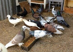 Various pigeons & racing  $ 15 each Rowville Knox Area Preview