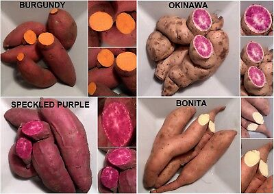 ipomoea sweet potato batatas, PURPLE, ORANGE, WHITE ROSE - 2 SHOOTS / CUTTINGS - 2 Sweet Potato