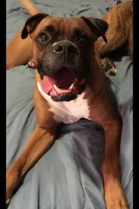Boxer looking for a loving forever home