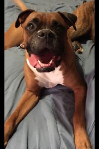 Boxer looking for a forever home