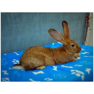 2 Gorgeous Purebreed/Pedigreed Flemish Giant Bunnies For Sale