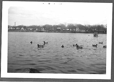 1961 WILD MALLARD DUCKS CARSON PARK HALF MOON LAKE EAU CLAIRE WISCONSIN PHOTO ()