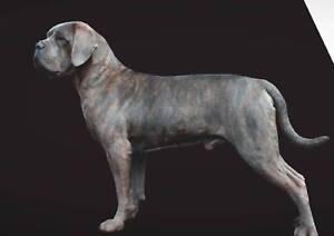 ANKC Registered Purebred Cane Corso Puppies