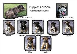 Wolfhound / Husky Cross Puppies Watchem Buloke Area Preview