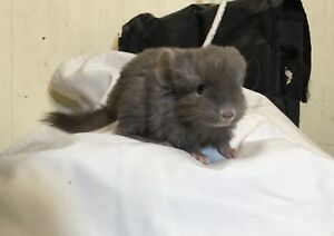 Chinchillas Variety Baby's and Adults 125-200 Cages Available