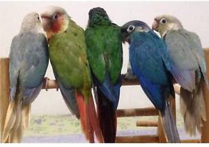 HANDRAISED CONURES EVERY COLOUR Strathfield Strathfield Area Preview