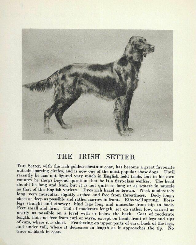 * Irish Setter - 1931 Vintage Dog Print - MATTED