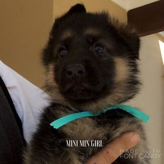 HEIKAI KENNELS GERMAN SHEPHERD PUPPIES Toolamba Shepparton City Preview