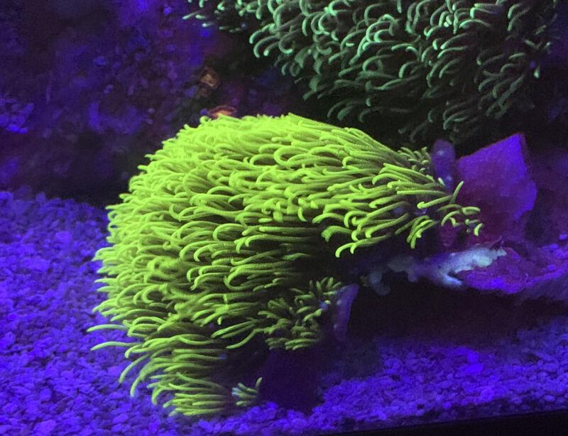 Green Star Polyps Coral Frag (ultra Green)