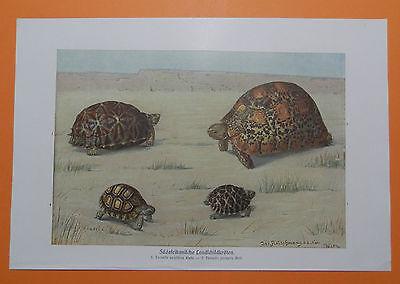 Südafrikanische Landschildkröten Schildkröte Schildkröten Farbdruck 1915