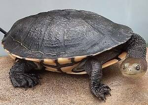 Eastern Longneck Turtle with Enclosure Pond $250 Evanston Gardens Gawler Area Preview