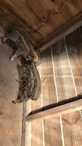 Baby pigs Redbanks Mallala Area Preview