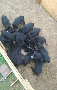 Puppies for sale Raceview Ipswich City Preview
