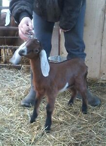 PUREBRED NUBIAN DOE KIDS- BOTTLE BABY GOATS