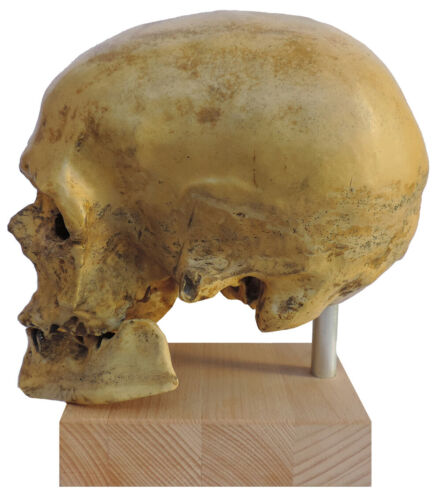 "Skull of Homo sapiens ""Cro Magnon"" from Vezera valley - cast of resin"