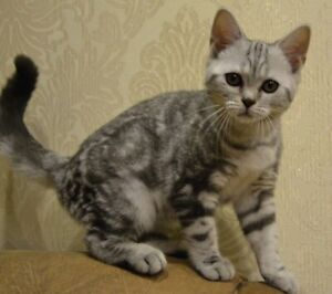 British Shorthair | Adopt Cats & Kittens Locally in