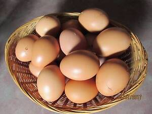 ISA HYLINE LOHMANN BROWN TYPE FERTILE EGGS FOR SALE Langwarrin South Frankston Area Preview
