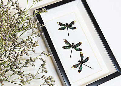 Dragonfly shadowbox real taxidermy home decor for sale BEDR3