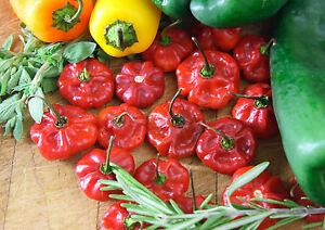 Hot Pepper - Scotch Bonnet Red - 25 seeds - Vegetable