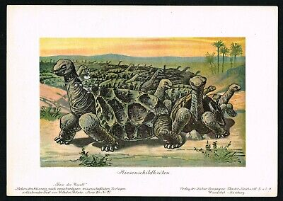1900 Saddle-backed Rodrigues Island Giant Tortoise, Antique Print - Scarce