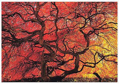 Postkarte: Fächerahorn im Herbstlaub - Acer palmatum - Palmate mapple