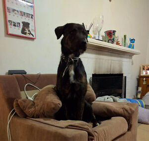 Puppy needs good home with big yard Midland Swan Area Preview