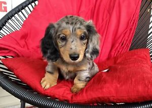 Long Haired Miniature Dachshund puppies