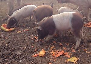 Weaner pigs Mareeba Tablelands Preview