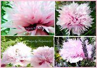 ♥ Riesen Mohn Rosa gefüllt,Samen,Pfingstrose Bienen Garten. Eimsbüttel - Hamburg Schnelsen Vorschau
