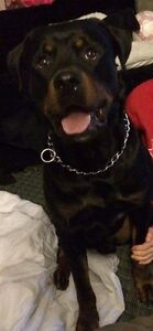 one female American Rottweiler left! Belleville Belleville Area image 4