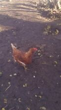 Each chicken Broadmeadows Hume Area Preview