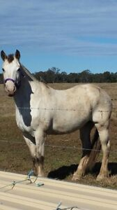Beautiful Appaloosa need sold ASAP Appin Wollondilly Area Preview