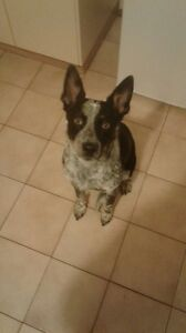 cute 1 year old blue heeler dog Noble Park Greater Dandenong Preview