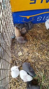 Baby rabbits for sale Condell Park Bankstown Area Preview