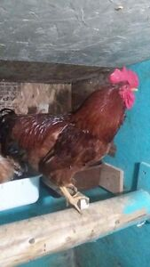 Rooster-coq rhode island red