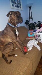 Ace (Mastiff/Boxer)