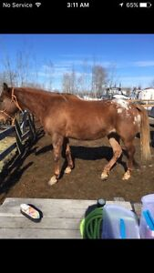 Appy mare sale or trade