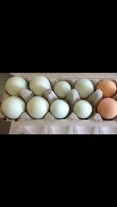 Easter Egger & olive egger fertile eggs Joyner Pine Rivers Area Preview