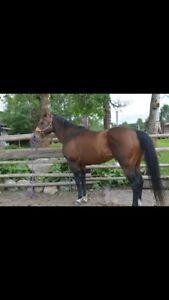 12 Year Old Running Bred AQHA Stallion