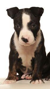 American staffy pup Perth Perth City Area Preview