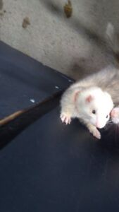 MISSING FERRET $400 REWARD IF FOUND SAFE AND SOUND Maitland Maitland Area Preview
