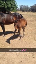 Stock horse x riding pony filly Tallarook Mitchell Area Preview