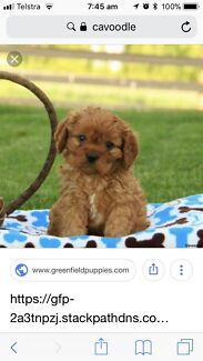 Wanted: Wanted Cavoodle Puppy