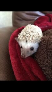 Hedgehog for sale!